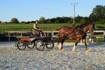 Shire horse v práci